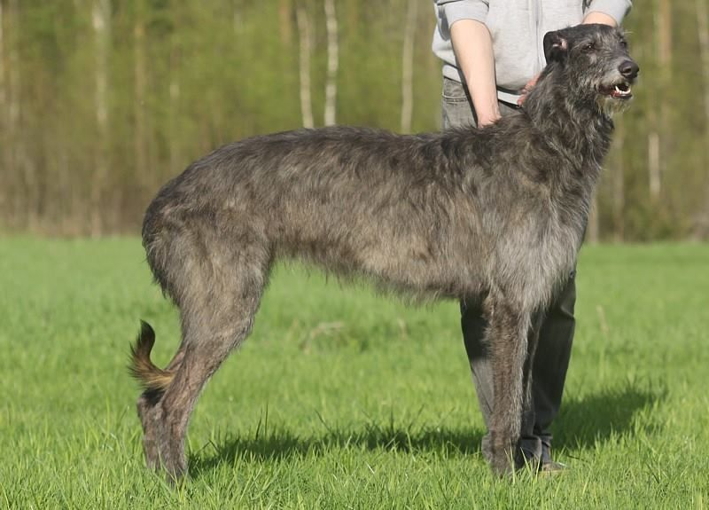 Dog Litter Size Statistics Kennel Club
